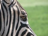 Zebra in Africa 5