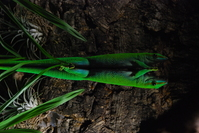Green lizard on mirrorglass