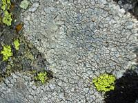 stone lichen 3