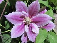 Hawaiian Flowers 15