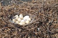 Swan Nest 1