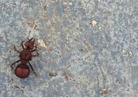 Sauva Queen Ants