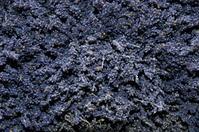 dry lavender 1