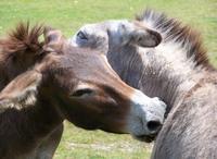 Donkeys nuzzeling