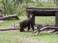 gorillas 22
