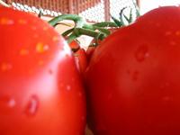 Fresh Tomatoes 2