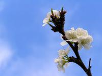 plum tree blossom in spring