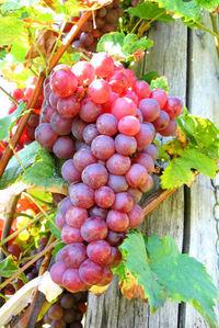 Fresh grapes 1