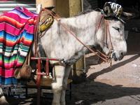 mexican burro