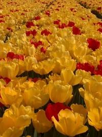 Tulip time 2006 5