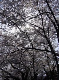 Cherry blossom in Okazaki