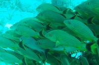 Dive Key Largo Snapper