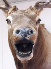 Elk's Head