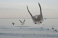 Sea-gulls 1