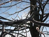 Tree in ice