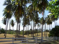 Coconut Trees 3