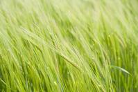Wheat Field / Texture