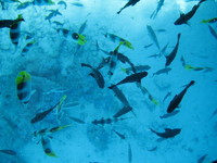 School of fish in Bora Bora