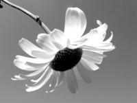 translucent daisy, b&w
