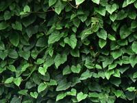 Greem leafs