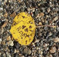 Layered Aspen Leaf 1
