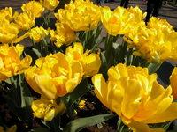 Yellow rich petals