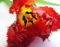 Red Romantic tulips