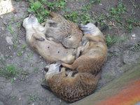 Meerkats resting