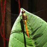 Orange Dragonfly 1