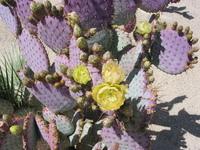 Cactus In Bloom-Borrego Springs, Ca
