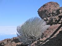 Maui > flora