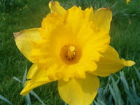 Yellow Daf's