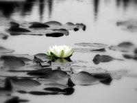 Forgotten Waterlily