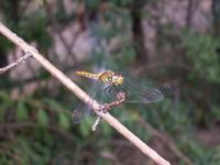 dragon-fly 1