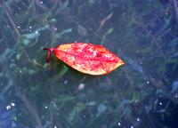 Floating leaf1