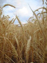 wheat00 2
