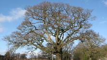 The lone Oak Tree