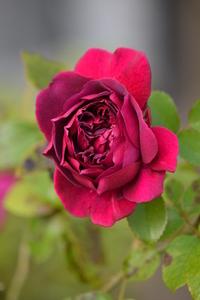 Red rose in september