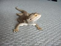 Franky, my bearded dragon 2