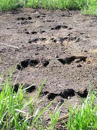 hippo tracks