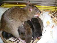 newborn rats 3