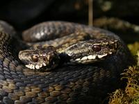 Norwegian Snakes_1_25.04.2005