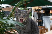 Yawning cat 1