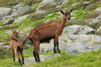 Mountain animals 1