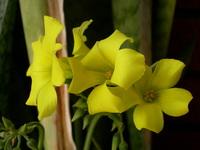 Little yellows