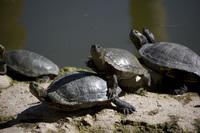 Turtle stare down
