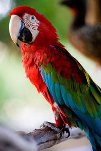 Araras Vermelhas - red Brazilian Macaws 4