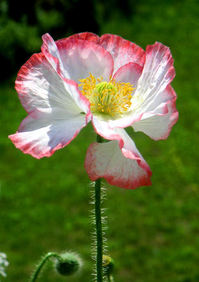 Poppy collection 4
