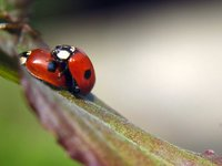 Two little ladybugs