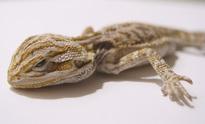 Dead bearded dragon lizard